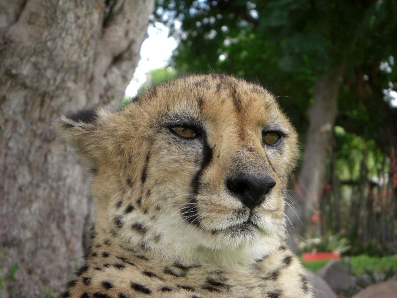 Angelina's Favorite Cheetah: Goeters