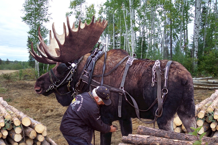 http://www.animalsmattertoo.com/imagesanimals2/moose.jpg